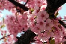 河津桜見ごろ