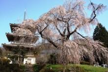 しだれ桜名所九州